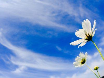 青い空と白いコスモス