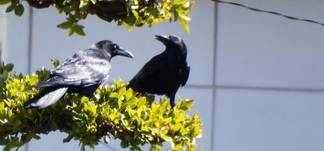 木の枝に止まる二匹のカラス