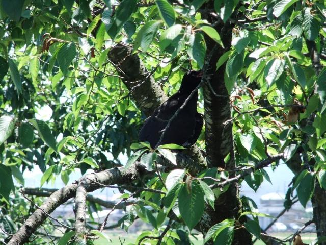 木の葉に隠れて枝にとまっているカラス