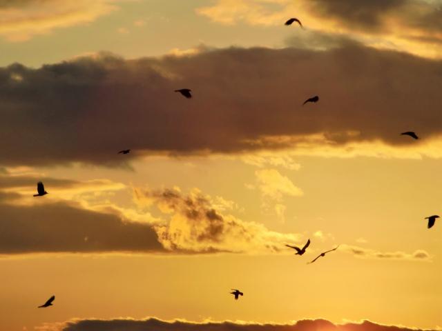 夕焼けの空にカラスが飛び交う様