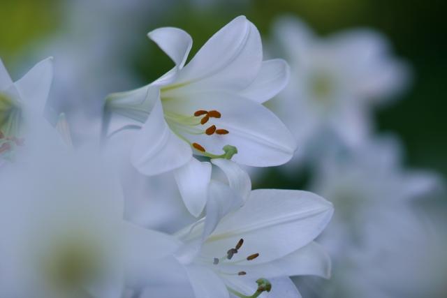 白い小さなユリの花