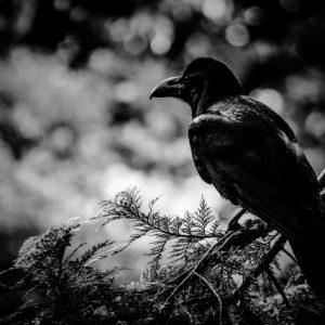 枝に止まったカラスの白黒写真