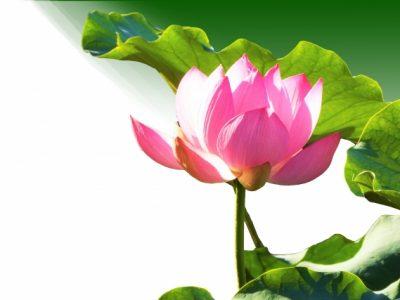 ピンク色の蓮の花に光